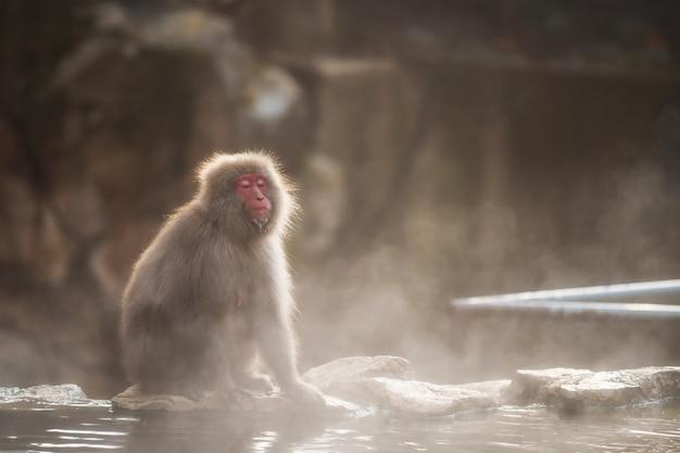 夕暮れ時の地獄谷公園の雪猿