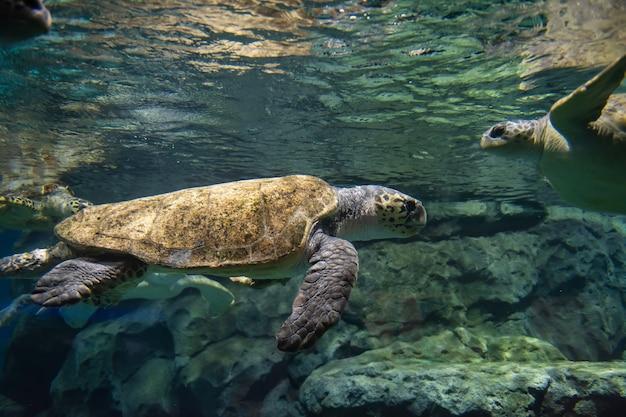 水の下で多くのウミガメ