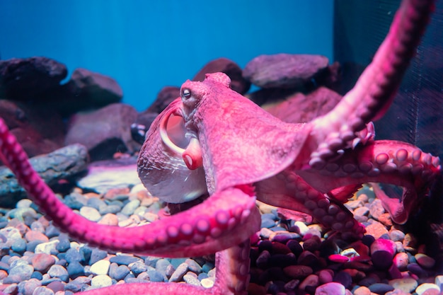 Красный гигантский осьминог спит в аквариуме