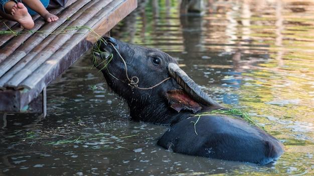 Турист кормит травой буйволов