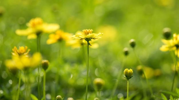 Желтые цветы лютика в природе
