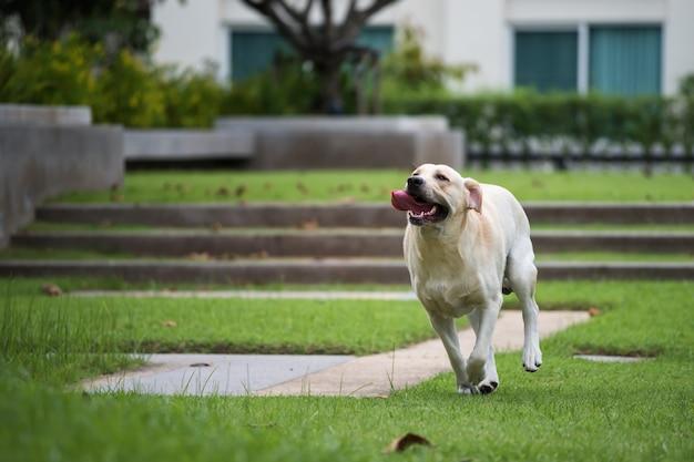 公園で走っているラブラドールレトリバー犬