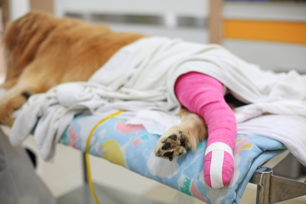 ピンクの包帯を持つゴールデンレトリーバー獣医後