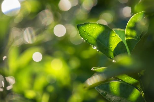 露とボケの夕焼けのベルガモットの葉