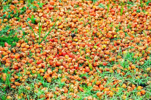 赤いヤシの種が庭の緑の芝生に落ちる