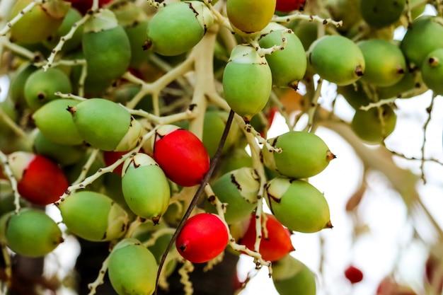 赤い種と木の上の新しい緑のヤシの種