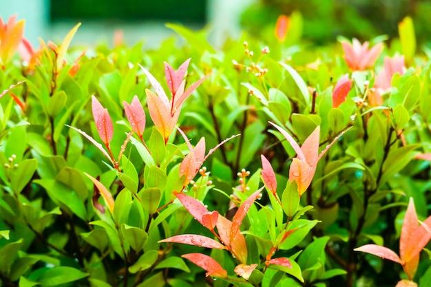 クリスティーナの若い赤い種と葉が成長しています