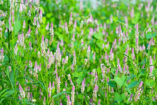 庭に咲くケイトウアルジェンテアピンク色の花は緑の葉をぼかし