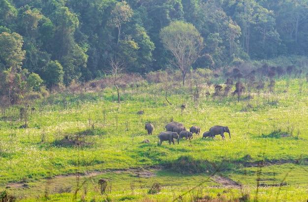 タイのカオヤイ国立公園の森の近くの緑の芝生のフィールドで夕方に草を食べて歩いている野生の象の家族の群れ。