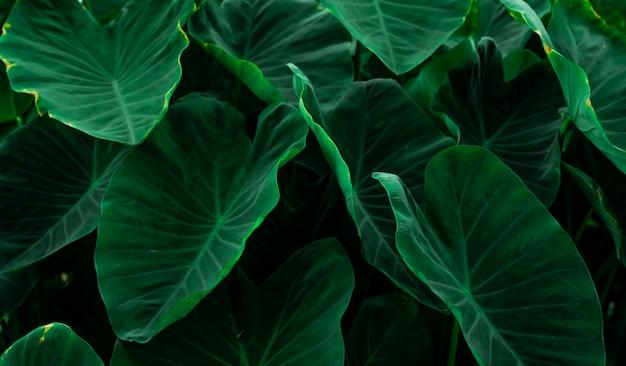 ジャングルで象の耳の緑の葉。最小限のパターンで緑の葉のテクスチャ。熱帯林の緑の葉。植物園。