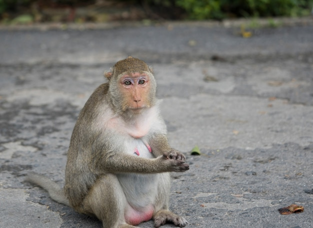 タイのアスファルトの道路に座っている妊娠中のメスの猿。マカクザルには茶色の毛皮とピンクの乳首があります。猿の妻が夫を待っています。妊娠中の女性の概念のうつ病。