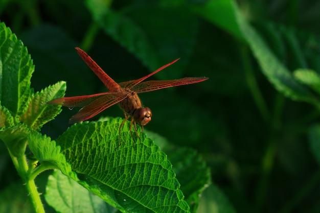 美しい赤いトンボは、晴れた日に自然な背景として緑の葉に翼の詳細を示しています。自然界の昆虫動物。クローズアップの赤いトンボ。水質指標。記念コンセプト。世界を救う。
