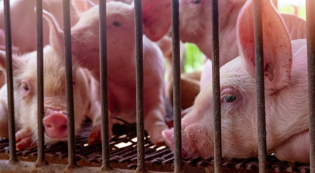 農場でかわいい子豚。悲しいと健康な小さな豚。畜産。食肉産業。動物肉市場。
