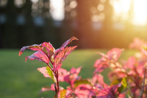 朝の日差しでスノーフレークハイビスカスの葉