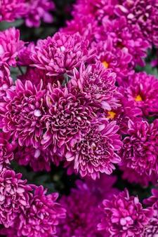 菊の花、菊の花の背景