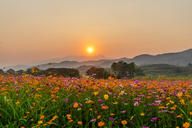 夕暮れ時のコスモスの花畑と美しい風景の画像。