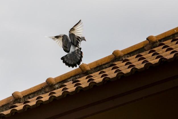 Птица-голубь приближается к сидению на крышу дома