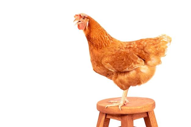 赤、羽、鶏、立つ、木、机、パス、分離、白、背景