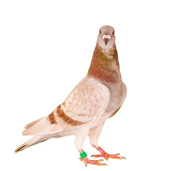 孤立した白い背景に立っている赤い食事の羽の帰郷鳩の肖像画全身