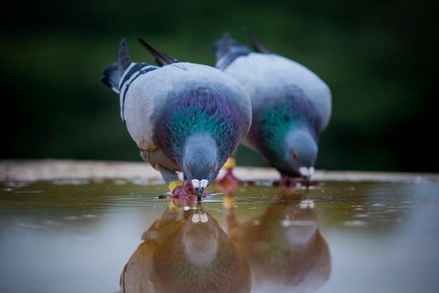 Питьевая вода двух самонаводящих голубей на крыше