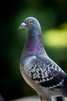 Крупным планом голова голубя на зеленом фоне размытия