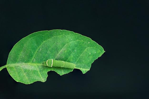 毛虫は葉を食べる