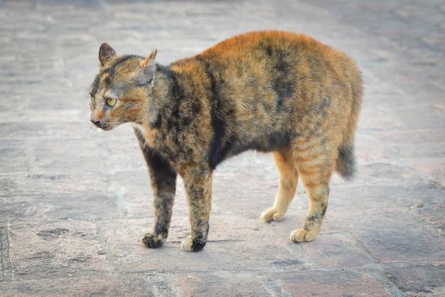 アーチ状の背中とハックルを持つ猫