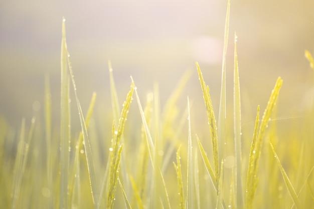 稲穂と黄金の朝の光