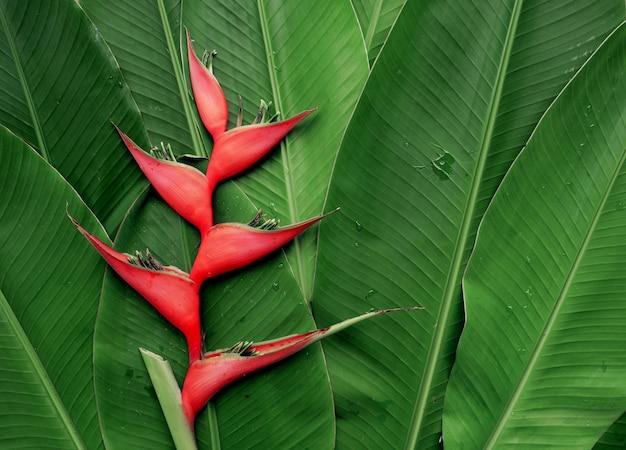 Цветок хеликонии на тропической листве