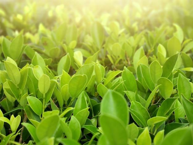 緑背景をぼかした写真に日光と自然の緑の葉。天然植物の生態学のコンセプト。