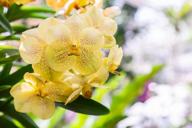Цветок орхидеи в саду орхидей в зимний или весенний день. ванда орхидея.