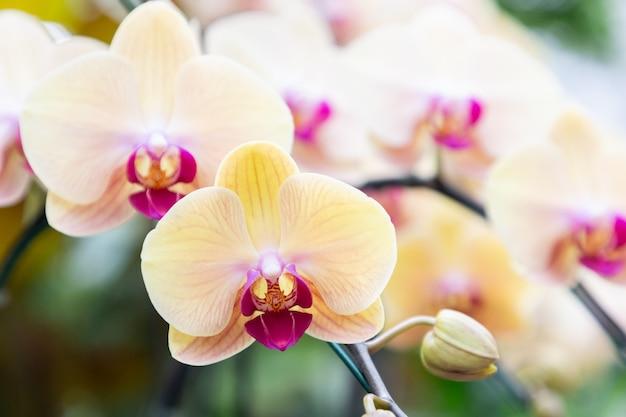 Цветок орхидеи в саду орхидей в зимний или весенний день. орхидея фаленопсис или моли орхидея.