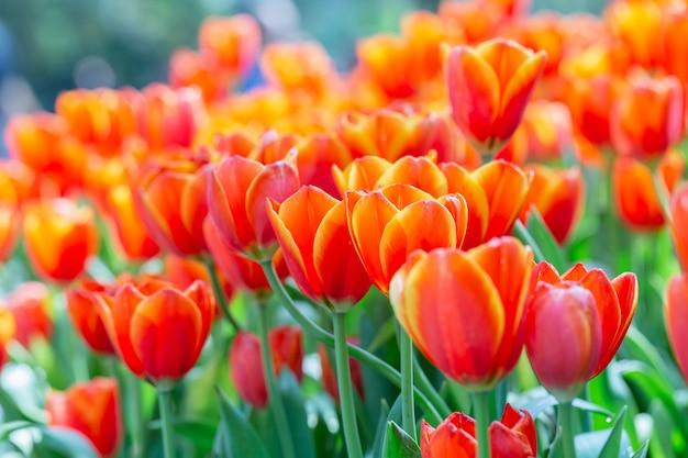 冬や春の日にチューリップ畑で緑の葉の背景を持つチューリップの花