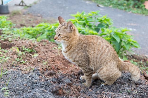 タイ猫の黄色い目が地面に糞を吐いた。