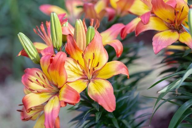 晴れた夏や春の日に庭のユリの花。ユリユリハイブリッド。