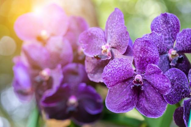 美しさと農業のコンセプトデザインのための冬または春の日に蘭園の蘭の花。バンダラン科。