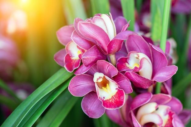 美しさと農業のコンセプトデザインのための冬または春の日に蘭園の蘭の花。シンビジウムラン科。