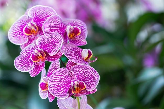 美しさと農業のコンセプトデザインのための冬または春の日に蘭園の蘭の花。ファレノプシスラン科。