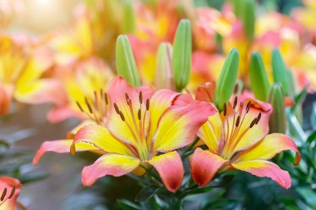 ユリの花と美しさの装飾や農業デザインのための晴れた夏や春の日の庭の緑の葉の背景。ユリユリハイブリッド。