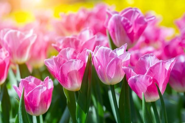 はがきの美しさの装飾と農業の概念設計のための冬または春の日にチューリップ畑の緑の葉の背景とチューリップの花。
