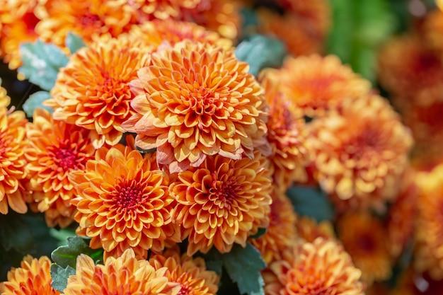 日当たりの良い夏や春の日に庭でオレンジ色のダリアの花。