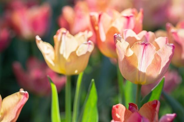 Цветущие тюльпаны в саду