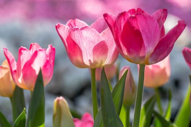 チューリップ畑のチューリップの花。