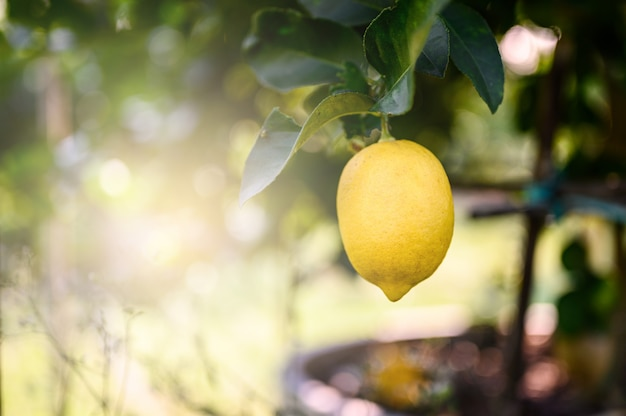熟したレモンまたは成長しているレモン、日当たりの良い庭のレモンの木の枝に新鮮なレモンの束。