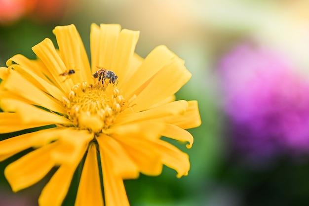 マニアの赤または黄色の着色された百日草の花