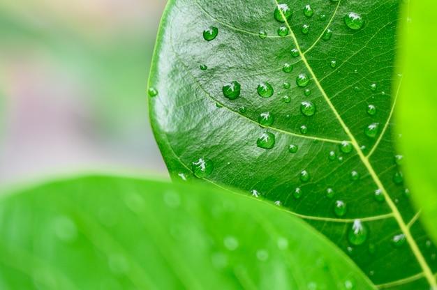Падения крупного плана воды на зеленых лист, взгляде природы в саде на лете.