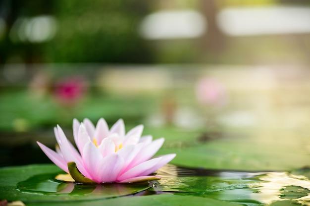 庭の雨の後の水に美しい蓮ピンクまたは紫の花。
