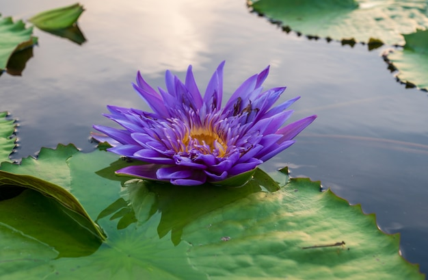 池の蓮の花。