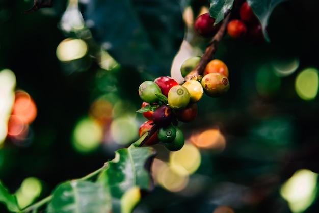 コーヒーの木にアラビカコーヒーの木