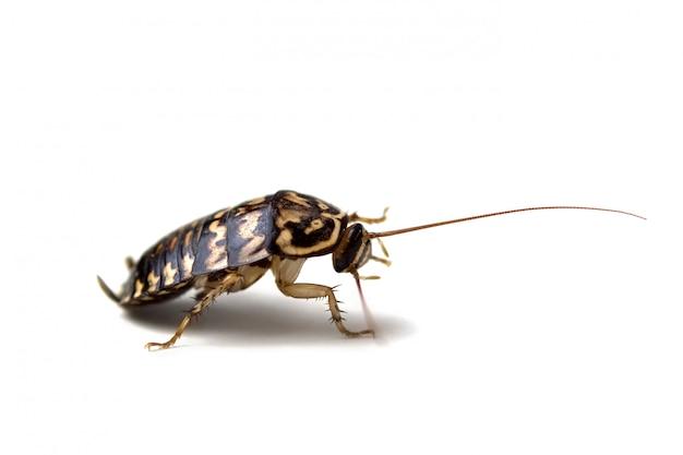 ゴキブリは、白い背景で隔離します。